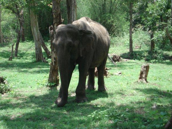 Elefante Kerala