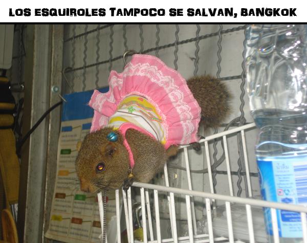 esquirol vestido en tailandia